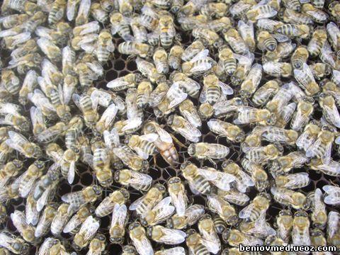 пчелил
